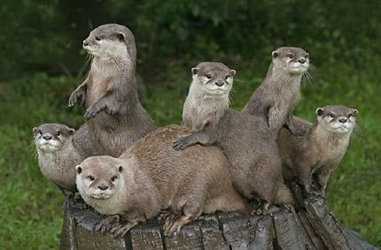 otters_by_colin_harrison_frps