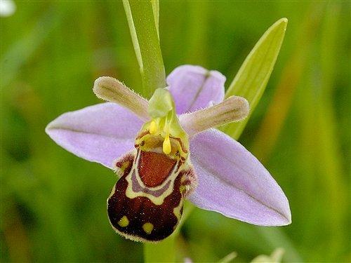 orquidea_ophrys_apiferajpg